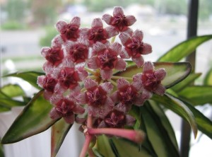 Hoya Kentiana variegated (4)